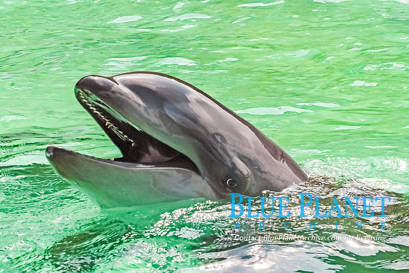 wholphin, or wolphin, named Kekaimalu, the only known living hybrid cetacean of false killer whale, Pseudorca crassidens, and common bottlenose dolphin, Tursiops truncatus, Oahu, Hawaii, USA (c)