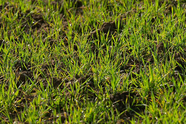 25-3-2021 Winter wheat plants<br /> ©Tim Scrivener Photographer 07850 303986<br />      ....Covering Agriculture In The UK....