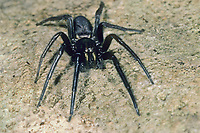 Fischernetzspinne, Segestria florentina, snake-back spider, Segestriidae, Fischernetzspinnen