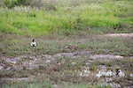 Mallards In Marsh Near Orond Beach