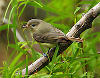 Adult warbling vireo at Paradise Pond in April