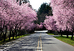 Cherry trees, in full bloom, line a rural road.