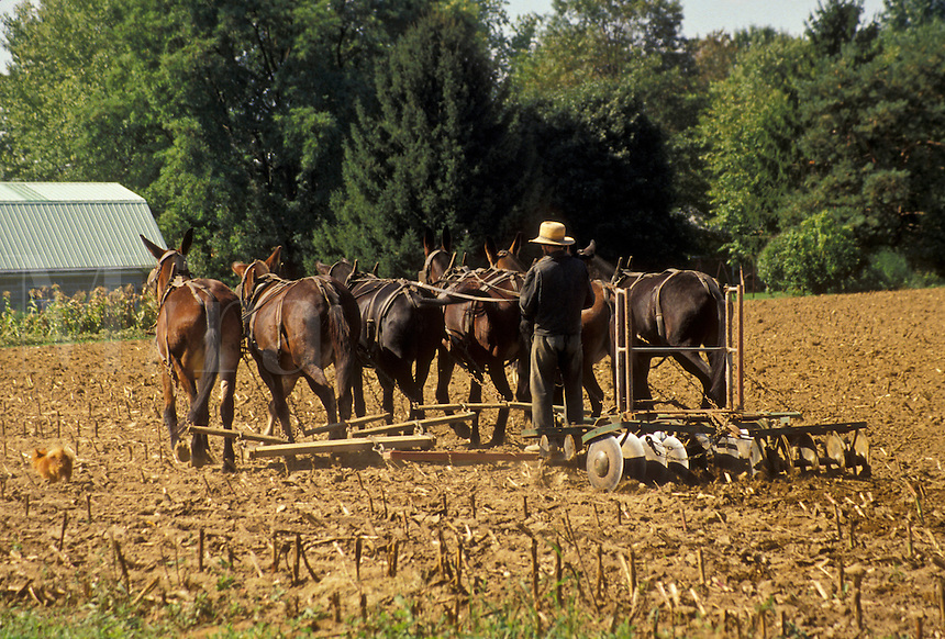 AJ3050, farmer, plowing, Amish, Amish country, Lancaster County, Pennsylvania, Pennsylvania Dutch Country, An Amish farmer plows his field with a team of mules in Lancaster in the state of Pennsylvania.