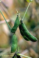 HS30-028c  Bean - soy bean cover crop - Black Jet variety.