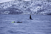 Killer whale Orcinus orca Snorkeller following adult male killer whale in fjord. Tysfjord, Arctic Norway