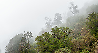 Rainforest in fog on Alex Knob, Westland Tai Poutini National Park, UNESCO World Heritage Area, West Coast, New Zealand, NZ