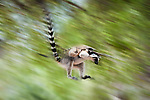 Ring-tailed Lemur (Lemur catta) leaping through canopy carrying infant. Lac Tsimanampetsotsa National Park, SW Madagascar.