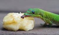 A cute gecko (gold dust day gecko) licks a banana on Hawai'i.