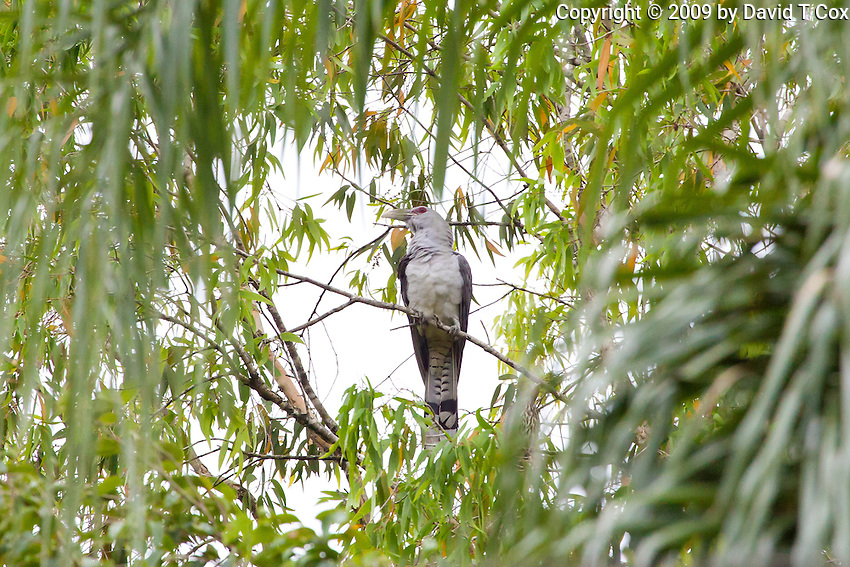 Channel-Billed Cuckoo & female Australasian Figbird, Daintree River, Queensland, Australia