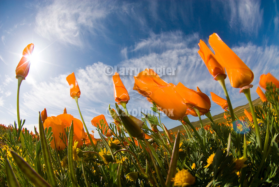 California poppies, goldfields flower, clouds and sky, Antelope Valley, Calif...(Eschscholzia californica & Lasthenia chrysotoma)