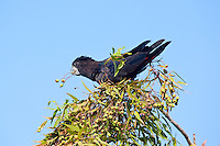 Red-Tailed Black-Cockatoo, Kakadu NP, Australia