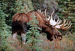 Portrait of a bull moose in Denali National Park, Alaska.