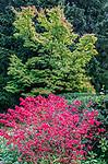 WA, Seattle, Kubota Garden, Burning Bush & Japanese Maple
