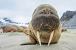 Adult walrus (Odobenus rosmarus) hauled out / resting on shore. Northern Spitsbergen, Svalbard, Arctic Norway.