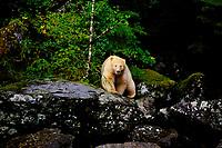 Kermode Black Bear (Ursus americanus kermodei).  Princess Royal Island, British Columbia.  Sept.
