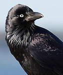 Australian Raven, Corvus coronoides