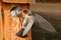 Adult female violet-green swallow feeding baby at nest box. The next day the little ones had left the nest.