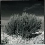 JULY 1995    -  Ayers Rock, Australia   - A desert bush..
