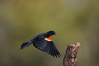 Red-winged Blackbird (Agelaius phoeniceus), male landing, Sinton, Corpus Christi, Coastal Bend, Texas, USA