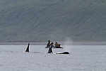 Bukhta Russkaya au sud de la cote du Kamchatka.un groupe d'orques épaulards rodent près d'une colonie de lions de mer de Steller.