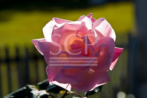 Fazenda Bauplatz, Brazil. Glowing pink rose.