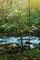 Spring light on Middle Prong of Little River, Tremont