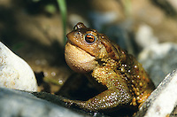 Erdkröte, rufendes Männchen, Erd-Kröte, Kröte, Bufo bufo, European common toad