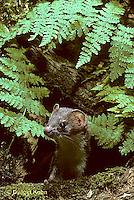 MA21-002z  Long-Tailed Weasel - in summer brown coat - Mustela frenata
