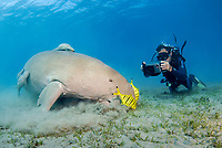 Dugong, Sea Cow, feeding on the sea grass, Gnathanodon Speciosus, scuab diver, Egypt, Red Sea, Indian Ocean