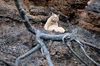 Pictured: A cat lies on the charred ground in the aftermath of the forest fire which has claimed dozens of lives in the Mati area of Rafina, Greece. Wednesday 25 July 2018<br /> Re: Deaths caused by wild forest fires throughout Greece.