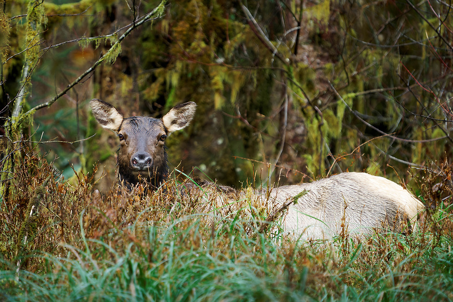 Female Roosevelt elk laying in grass, Queets Rainforest, Olympic National Park, Washington, USA