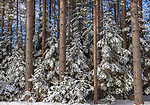 A beautiful winter landscape of red pines and spruce in northern Wisconsin.