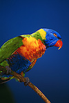 A perched Rainbow Lorikeet in Australia.
