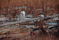 Snowy Owl (Bubo scandiacus) Female or Juvenile, sitting on Log at Boundary Bay Regional Park, Delta, BC, British Columbia, Canada - aka Arctic Owl, Great White Owl or Harfang.