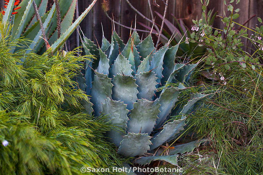 Agave potatorum (Butterfly Agave) with silver, gray foliage leaves in Gerhard Bock garden
