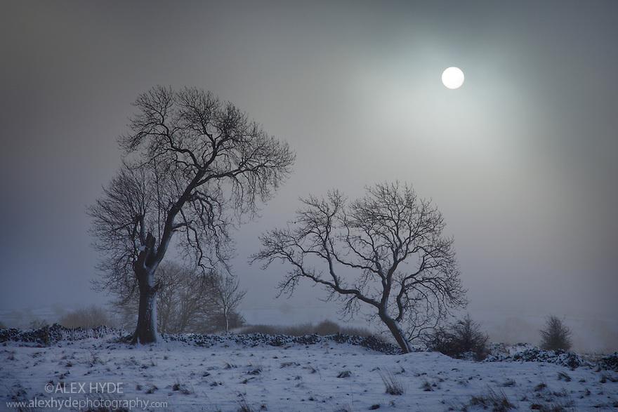 Ash Trees {Fraxinus excelsior} with low winter sun shining through freezing fog, Bonsall Moor, Peak District National Park, Derbyshire, UK. December.