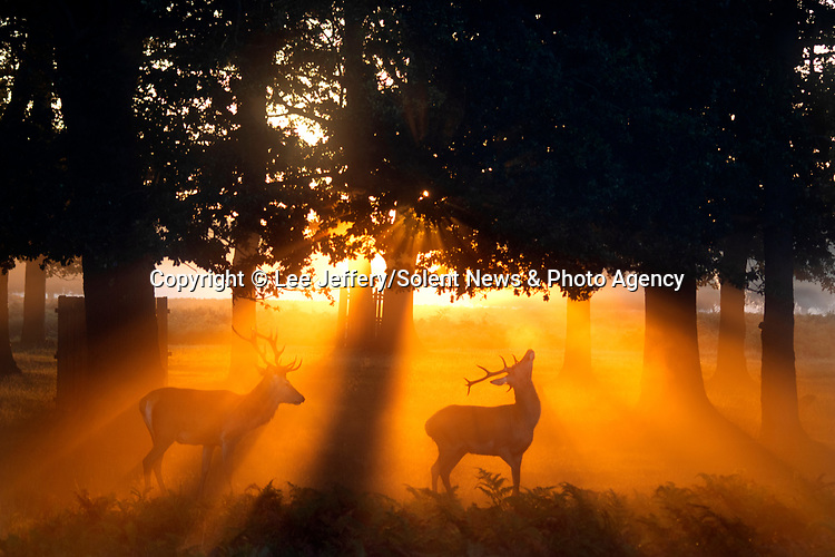 "The deer rut begins in Bushy Park, London captured in front of a glorious sunrise by an amateur photographer who only took up photography three months ago.<br /> <br /> Lee Jeffery, 38, who is a tyre technician at ATS Euromaster only picked up a camera for the first time as a hobby in lockdown after being furloughed.<br /> <br /> Lee said ""I've been doing photography for about three months as I took it up during lockdown and made it part of my allocated time of exercise.""<br /> <br /> ""This week I drove to Bushy Park which is about a 30 minute drive from my home in Battersea, South West London.""<br /> <br /> He capture these images of the deer at sunrise at around 5:30am (Tuesday 1st September) on a week which has seen the UK experience a misty start to the day on most mornings during the colder temperatures.<br /> <br /> He added ""The deer were roaring when I arrived as it was the start of the rut. I even spotted a couple of deer that were fighting.""<br /> <br /> Please byline: Lee Jeffery/Solent News<br /> <br /> © Lee Jeffery/Solent News & Photo Agency<br /> UK +44 (0) 2380 458800"