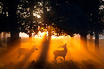 Stags in sunrise light with mist by Lee Jeffery