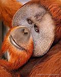 Bornean Orangutan (Pongo pygmaeus) Kutai at the Oregon Zoo.
