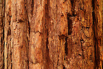 Coast Redwood (Sequoia sempervirens) bark, Muir Woods National Monument, California