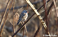 0106-1005  White-crowned Sparrow, Zonotrichia leucophrys  © David Kuhn/Dwight Kuhn Photography