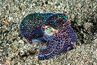 Bobtail squid, Euprymna berryi, Komodo, Indonesia,