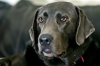 Murphy, a 100 pound Labrador Retriever that belongs to my brother Marc.