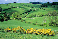 England, Offa's Dyke Footpath.  Gorse blooming in the foreground, white blossoms on hawthorn trees in the distance.   Sheep and cattle grazing on the hillsides.   Shropshire.
