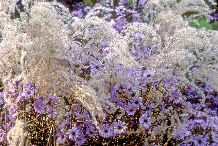 Aster 'Calliope', Miscanthus 'Kleine Fontaine'  ornamental grass and flowers in pretty combination in autumn fall color