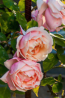 'Florence Bower's Pink Tea'  Old rose flowering in Sacramento Old City Cemetery