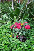 Euphorbia Milii, Crown of Thorns, Christ Plant, Goree Island Courtyard, Senegal