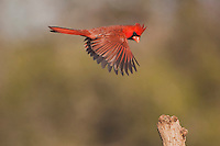 Northern Cardinal (Cardinalis cardinalis), male in flight, Sinton, Corpus Christi, Coastal Bend, Texas, USA
