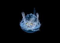 pancake batfish larva, Halieutichthys aculeatus, about 3cm, photographed during a blackwater drift dive in open ocean at 50 feet with the bottom 650 feet below, Palm Beach, Florida, USA, Atlantic Ocean