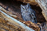 Western screech-owl (Megascops kennecotti) in tree cavity.